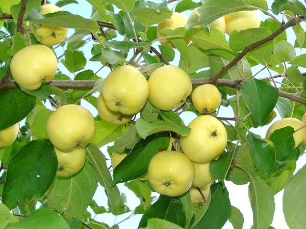 Сорта яблок, использование в кулинарии
